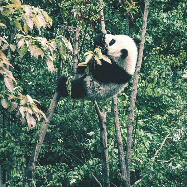 A panda hanging in a tree while eating bamboo leaves.